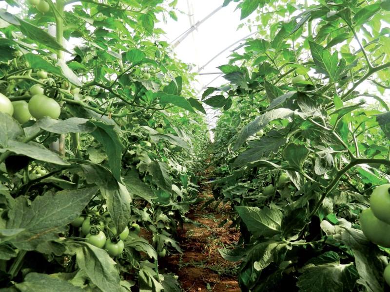Coltivazione-in-serra